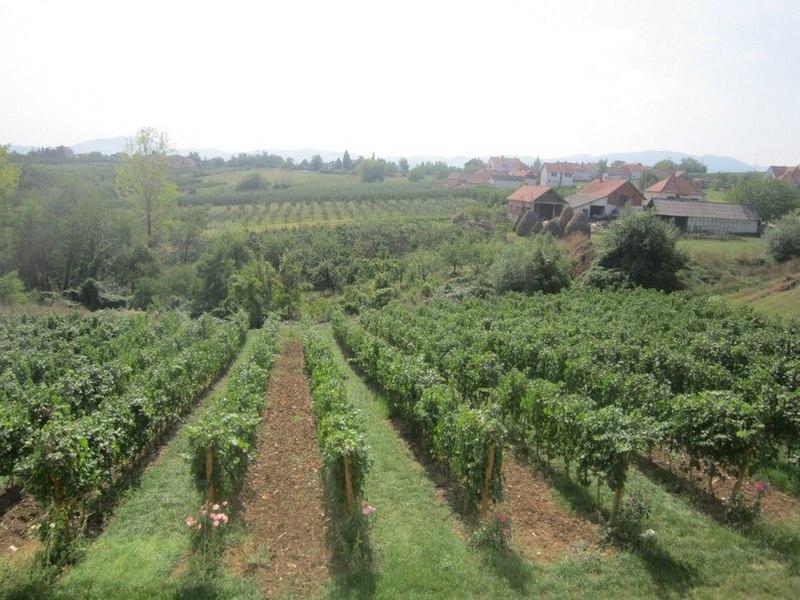 Виноградники в Тополе