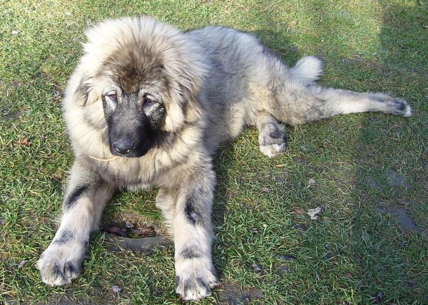 sarplaninac-puppy