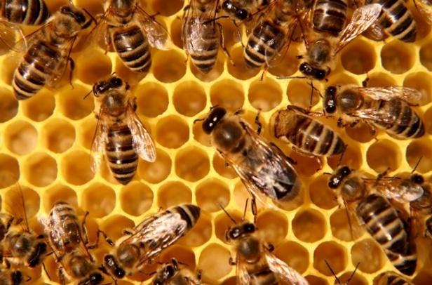 medne pčele